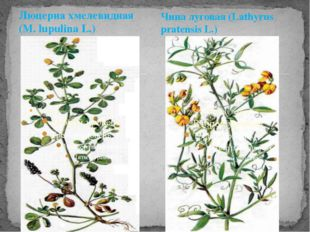 Люцерна хмелевидная (M. lupulina L.) Чина луговая (Lathyrus pratensis L.)