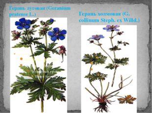 Герань луговая (Geranium pratense L.) Герань холмовая (G. collinum Steph. ex