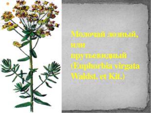 Молочай лозный, или прутьевидный (Euphorbia virgata Waldst. et Kit.)