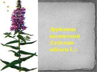 Дербенник иволистный (Lyth-rum salicaria L.)
