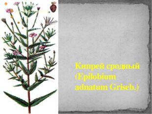 Кипрей сродный (Epilobium adnatum Griseb.)