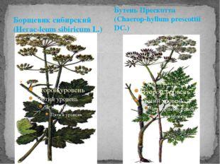 Борщевик сибирский (Негас-leum sibiricum L.) Бутень Прескотта (Chaerop-hyllum