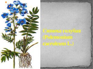 Синюха голубая (Polemonium caeruleum L.)
