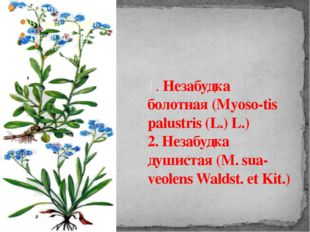 1. Незабудка болотная (Myoso-tis palustris (L.) L.) 2. Незабудка душистая (М.