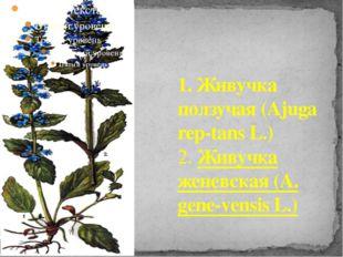 1. Живучка ползучая (Ajuga rep-tans L.) 2. Живучка женевская (A. gene-vensis
