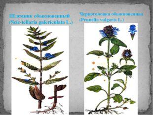 Шлемник обыкновенный (Scic-tellaria galericulata L.) Черноголовка обыкновенна