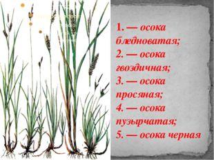 1. — осока бледноватая; 2. — осока гвоздичная; 3. — осока просяная; 4. — осок