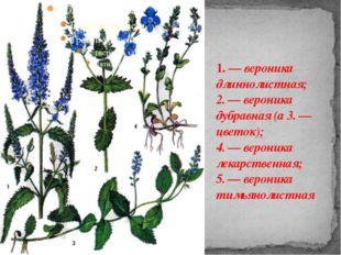 1. — вероника длиннолистная; 2. — вероника дубравная (а 3. — цветок); 4. — ве