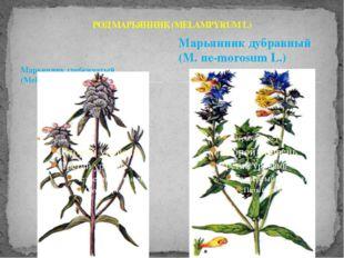Марьянник гребенчатый (Меlampyrum cristatum L.) РОД МАРЬЯННИК (MELAMPYRUM L)
