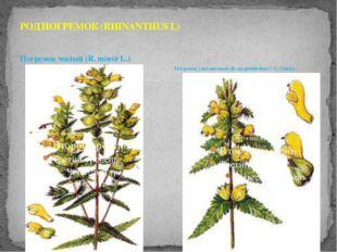 Погремок малый (R. minor L.) РОД ПОГРЕМОК (RHINANTHUS L) Погремок узколистный
