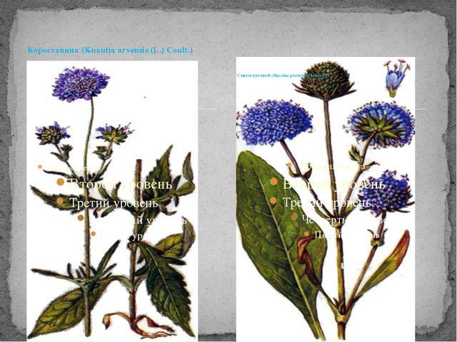 Короставник (Knautia arvensis (L.) Coult.) Сивец луговой (Succisa pratensis M...