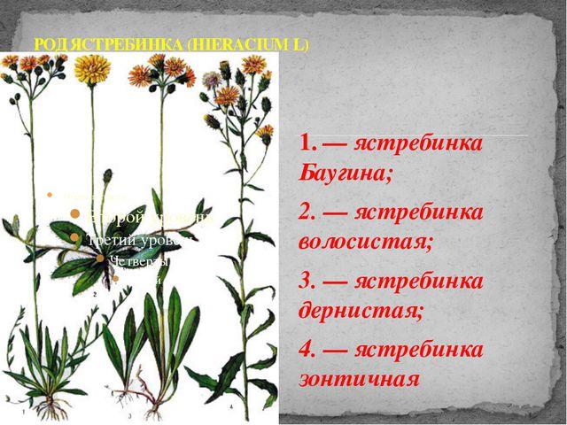 1. — ястребинка Баугина; 2. — ястребинка волосистая; 3. — ястребинка дерниста...