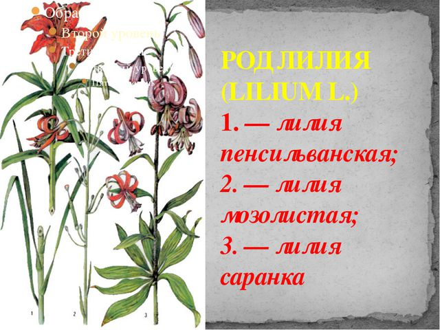 РОД ЛИЛИЯ (LILIUM L.) 1. — лилия пенсильванская; 2. — лилия мозолистая; 3. —...