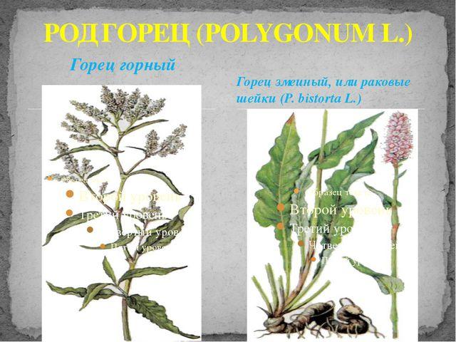 Горец горный РОД ГОРЕЦ (POLYGONUM L.) Горец змеиный, или раковые шейки (P. bi...