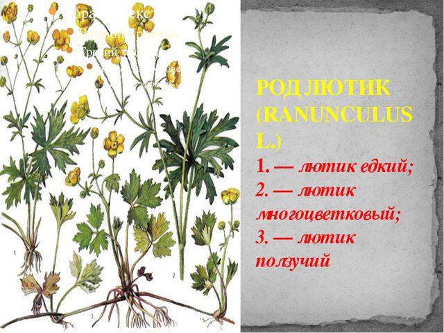 РОД ЛЮТИК (RANUNCULUS L.) 1. — лютик едкий; 2. — лютик многоцветковый; 3. — л...