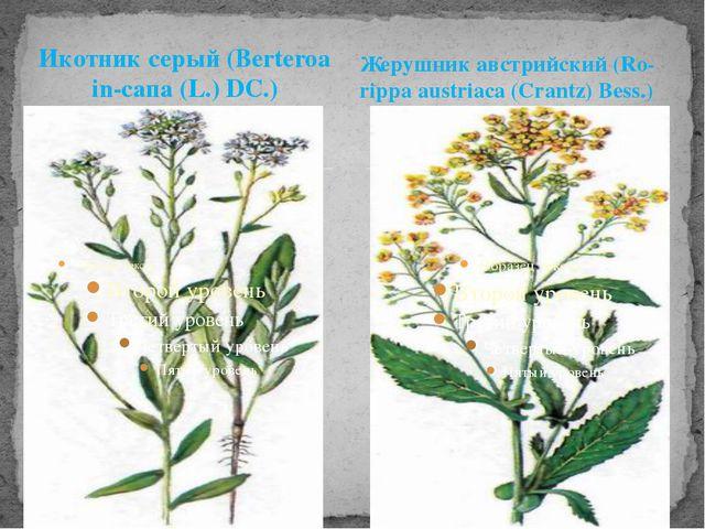 Икотник серый (Berteroa in-сапа (L.) DC.) Жерушник австрийский (Ro-rippa aust...