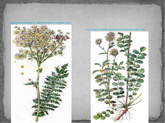 Таволга обыкновенная (F. vulgaris Moench (F. hexapetala Gilib.) Черноголовник...
