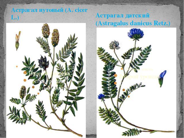 Астрагал нутовый (A. cicer L.) Астрагал датский (Astragalus danicus Retz.)