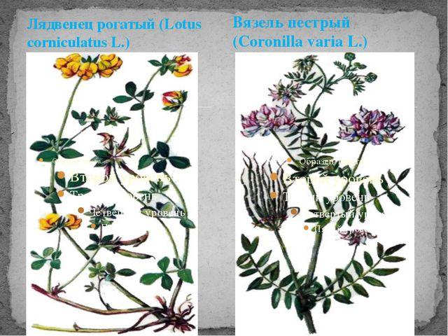 Лядвенец рогатый (Lotus corniculatus L.) Вязель пестрый (Coronilla varia L.)
