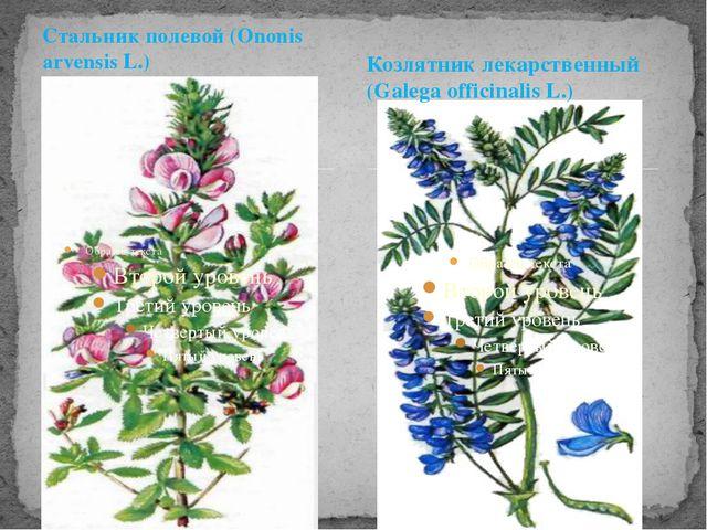 Стальник полевой (Ononis arvensis L.) Козлятник лекарственный (Galega officin...