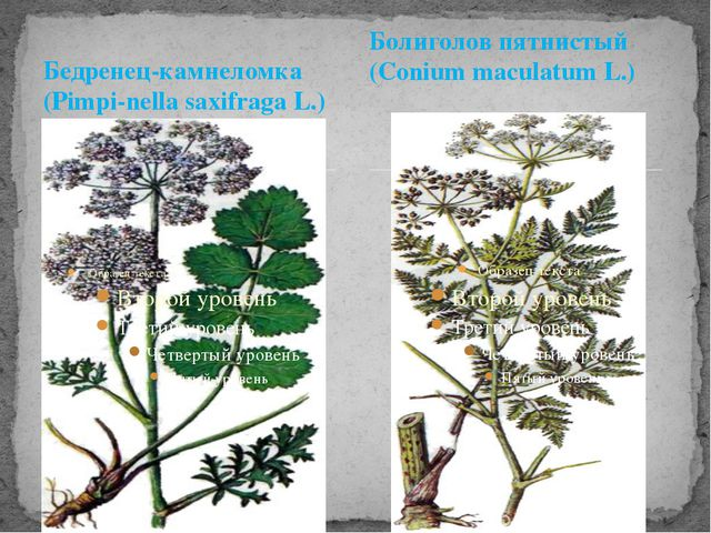 Бедренец-камнеломка (Pimpi-nella saxifraga L.) Болиголов пятнистый (Conium ma...