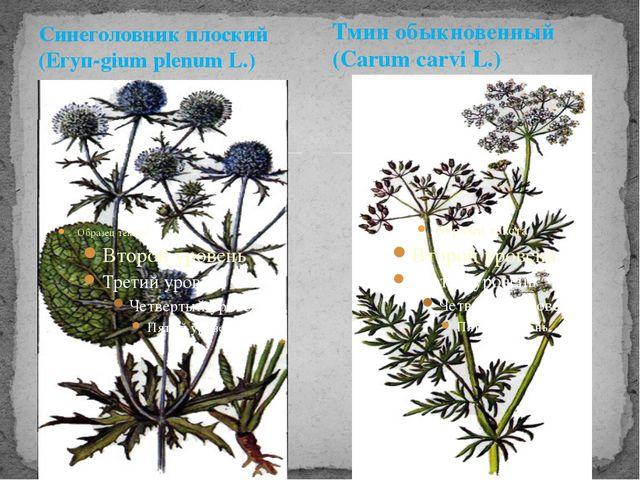 Синеголовник плоский (Егуп-gium plenum L.) Тмин обыкновенный (Carum carvi L.)
