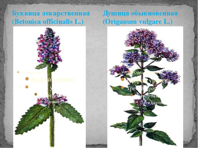 Буквица лекарственная (Betonica officinalis L.) Душица обыкновенная (Origanum...