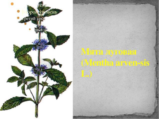 Мята луговая (Mentha arven-sis L.)