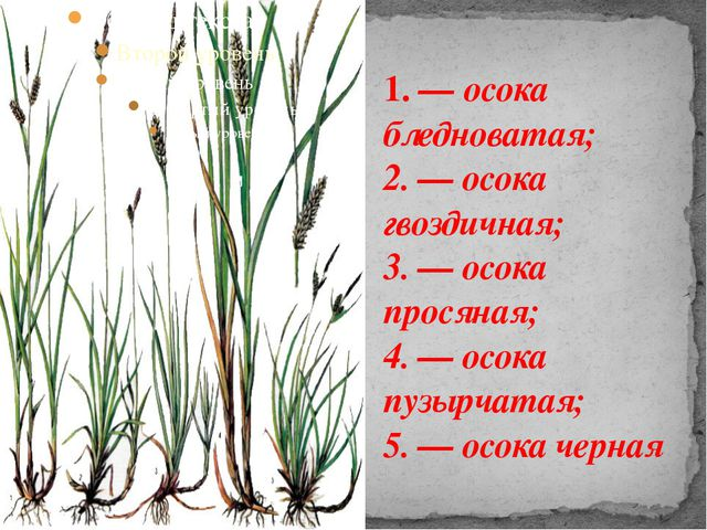 1. — осока бледноватая; 2. — осока гвоздичная; 3. — осока просяная; 4. — осок...