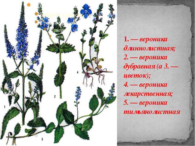 1. — вероника длиннолистная; 2. — вероника дубравная (а 3. — цветок); 4. — ве...