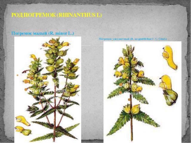 Погремок малый (R. minor L.) РОД ПОГРЕМОК (RHINANTHUS L) Погремок узколистный...