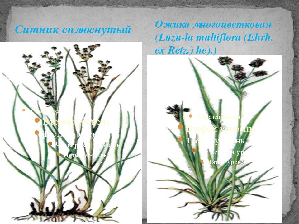 Ситник сплюснутый Ожика многоцветковая (Luzu-la multiflora (Ehrh. ex Retz.) h...
