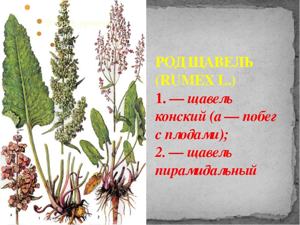РОД ЩАВЕЛЬ (RUMEX L.) 1. — щавель конский (а — побег с плодами); 2. — щавель...