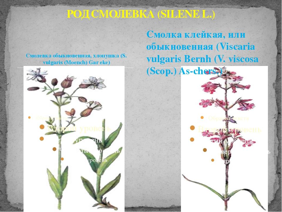 Смолевка обыкновенная, хлопушка (S. vulgaris (Moench) Gar eke) РОД СМОЛЕВКА (...