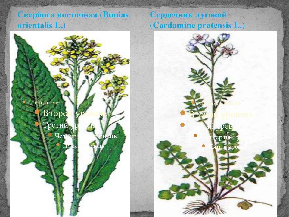 Свербига восточная (Bunias orientalis L.) Сердечник луговой (Cardamine praten...