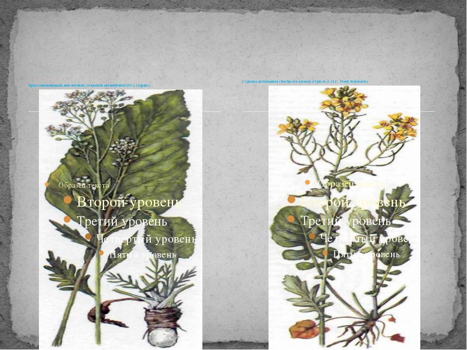Хрен гулявниковый, или луговой (Armoracia sisymbrioides (DC.) Cajand.) Сурепк...