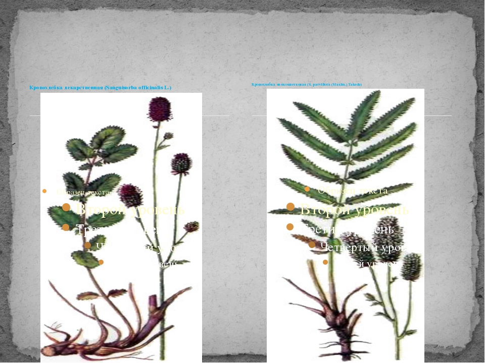 Кровохлебка лекарственная (Sanguisorba officinalis L.) Кровохлебка мелкоцветк...