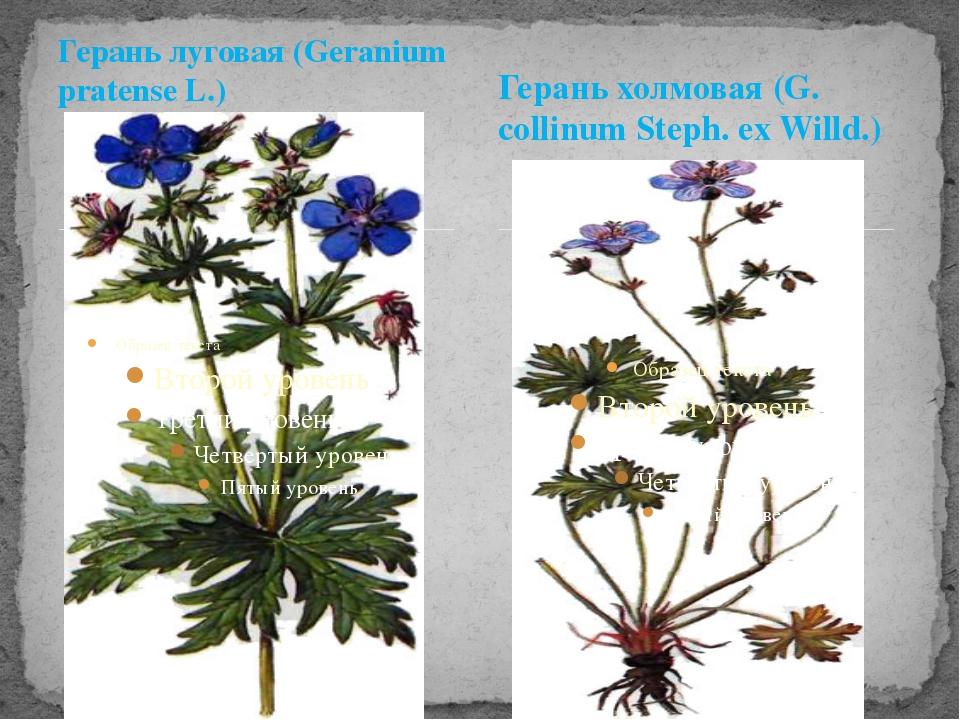 Герань луговая (Geranium pratense L.) Герань холмовая (G. collinum Steph. ex...