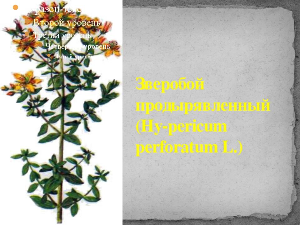 Зверобой продырявленный (Ну-pericum perforatum L.)