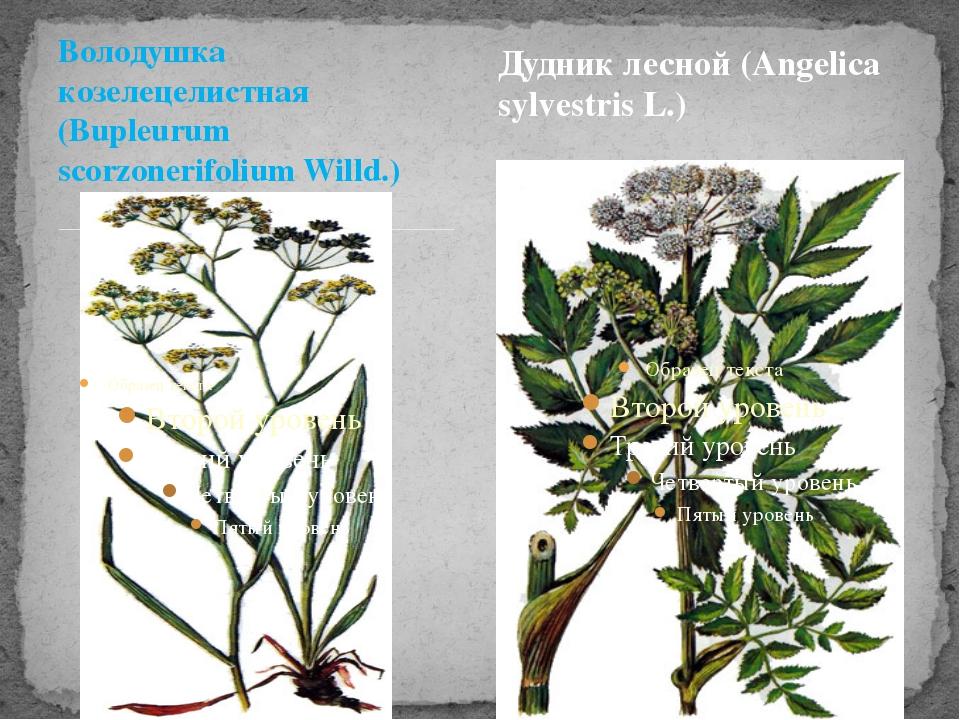 Володушка козелецелистная (Bupleurum scorzonerifolium Willd.) Дудник лесной (...