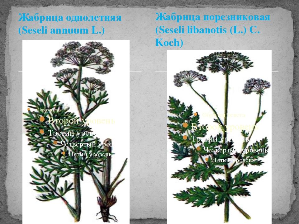 Жабрица однолетняя (Seseli annuum L.) Жабрица порезниковая (Seseli libanotis...