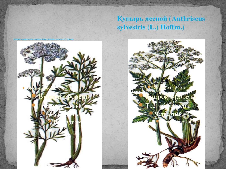 Кадения сомнительная (Каdenia dubia (Schkuhr) Lavrova et V. Tichom). Купырь л...