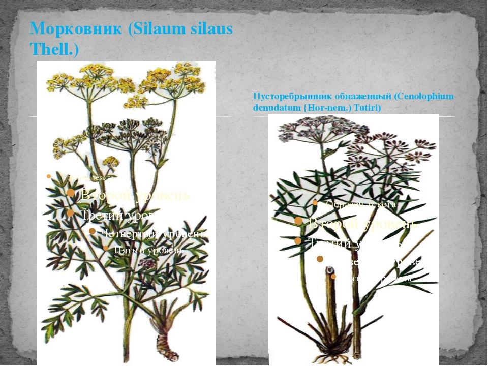Морковник (Silaum silaus Thell.) Пусторебрышник обнаженный (Cenolophium denud...