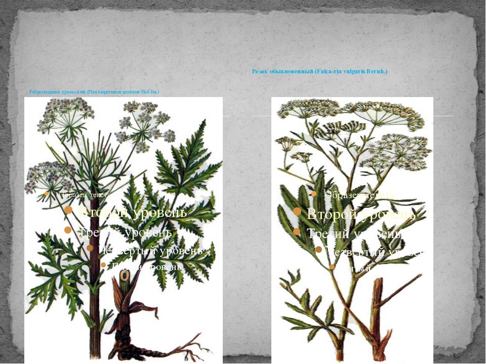 Реброплодник уральский (Pleurospermum uralense Hof-fm.) Резак обыкновенный (F...