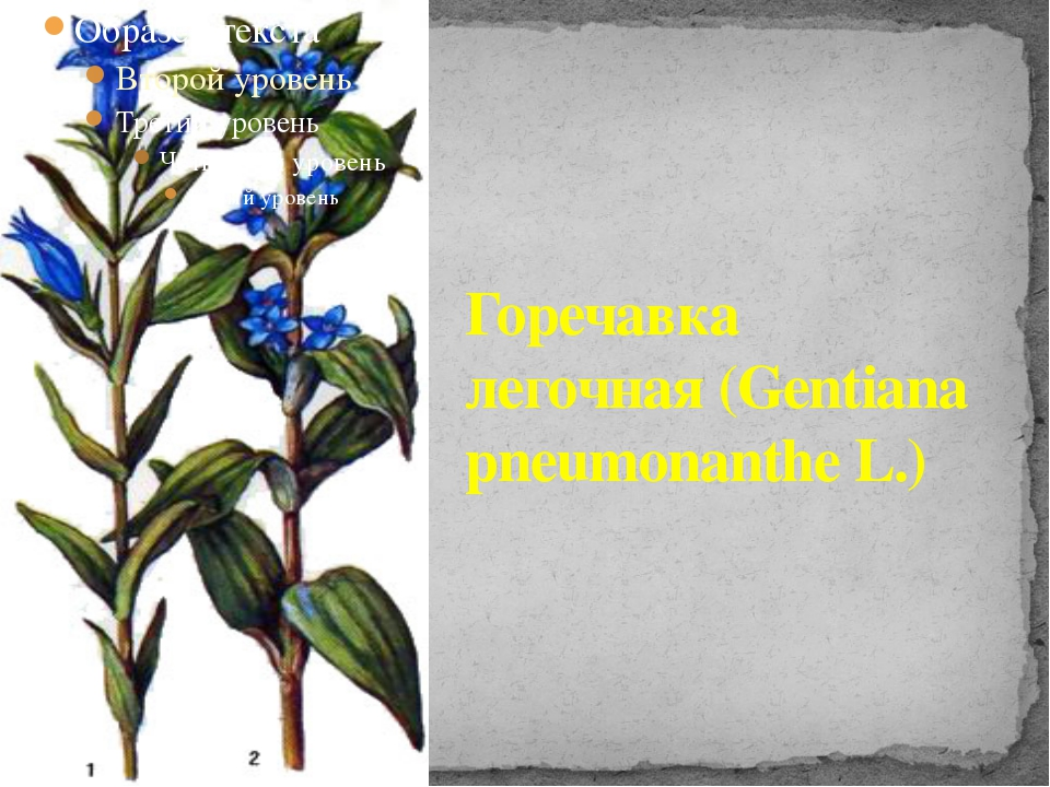 Горечавка легочная (Gentiana pneumonanthe L.)