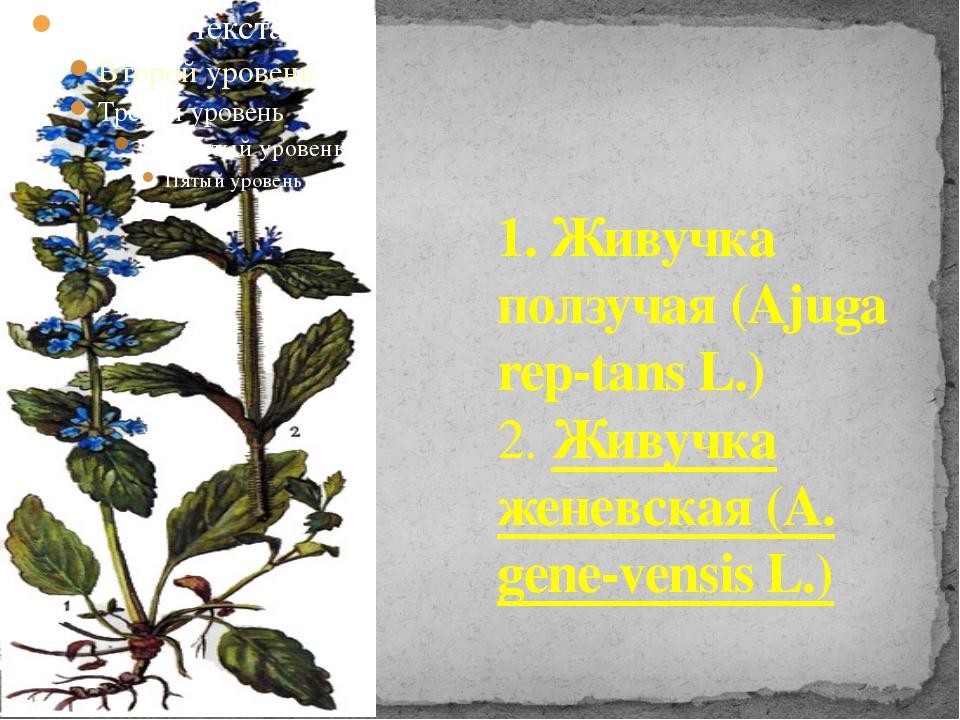 1. Живучка ползучая (Ajuga rep-tans L.) 2. Живучка женевская (A. gene-vensis...