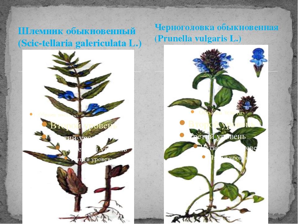 Шлемник обыкновенный (Scic-tellaria galericulata L.) Черноголовка обыкновенна...