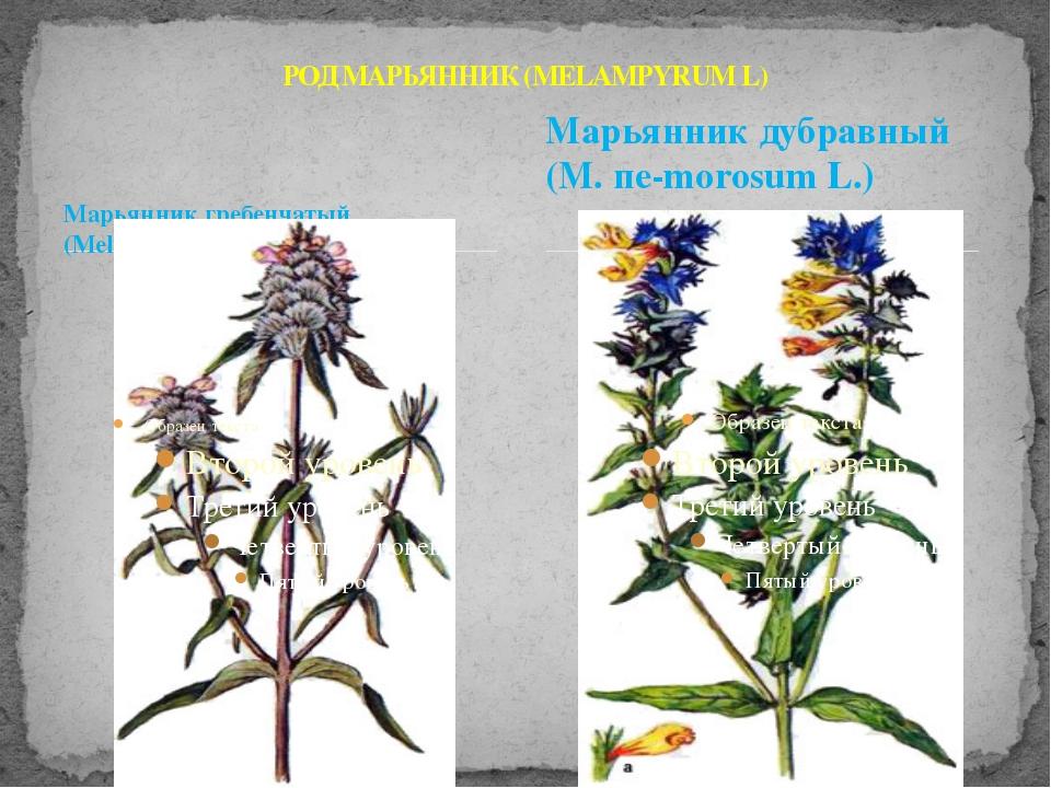 Марьянник гребенчатый (Меlampyrum cristatum L.) РОД МАРЬЯННИК (MELAMPYRUM L)...
