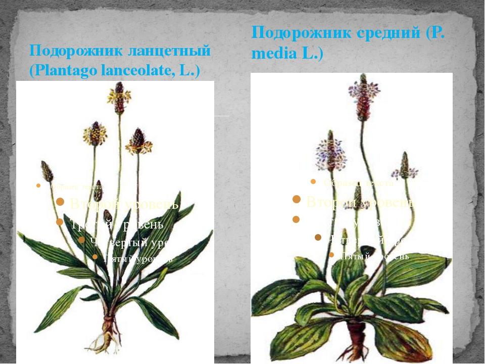 Подорожник ланцетный (Plantago lanceolate, L.) Подорожник средний (P. media L.)