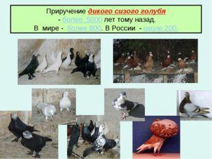 Приручение дикого сизого голубя - более 5000 лет тому назад. В мире - более 8